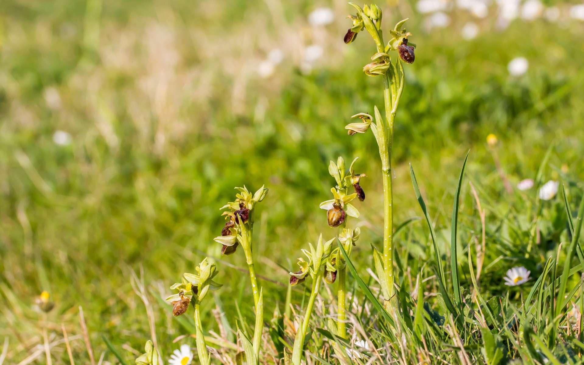 Ophrys araignée - vue d'ensemble (Crédits : flickr)