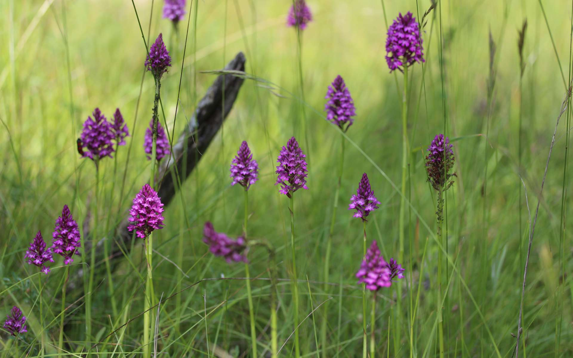 Orchis pyramidal - vue d'ensemble (Crédits : Flickr - Bjorn S.)