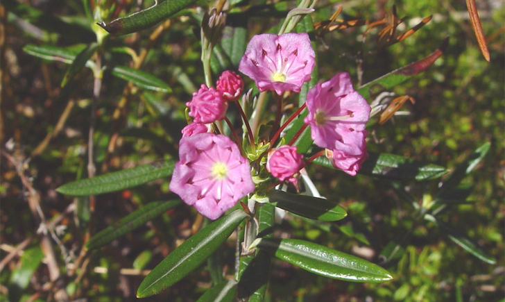 Kalmia à feuilles d'Andromède (Crédits : CTSPM)