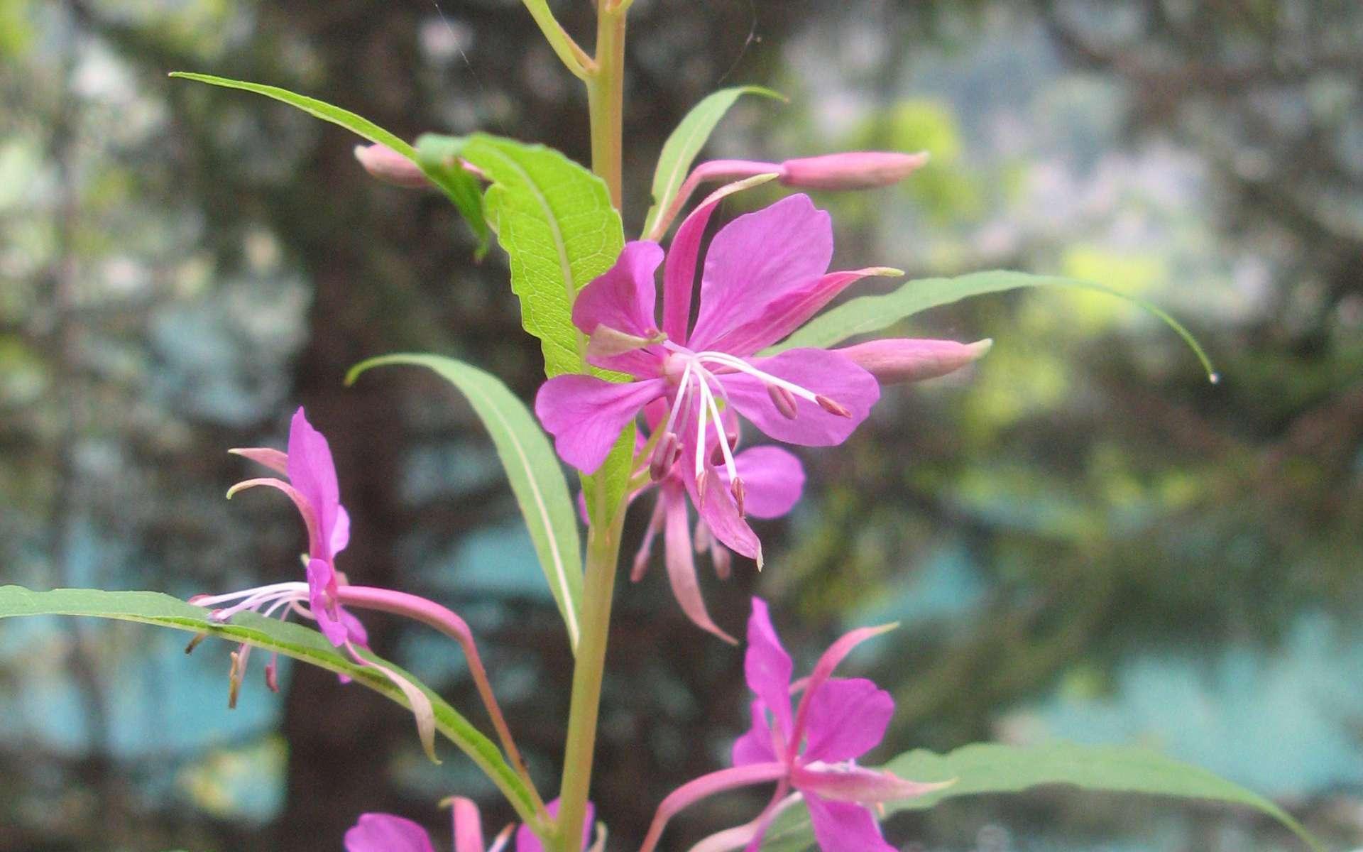 Epilobe en épi - fleur (Crédits : Léa Charbonnier)