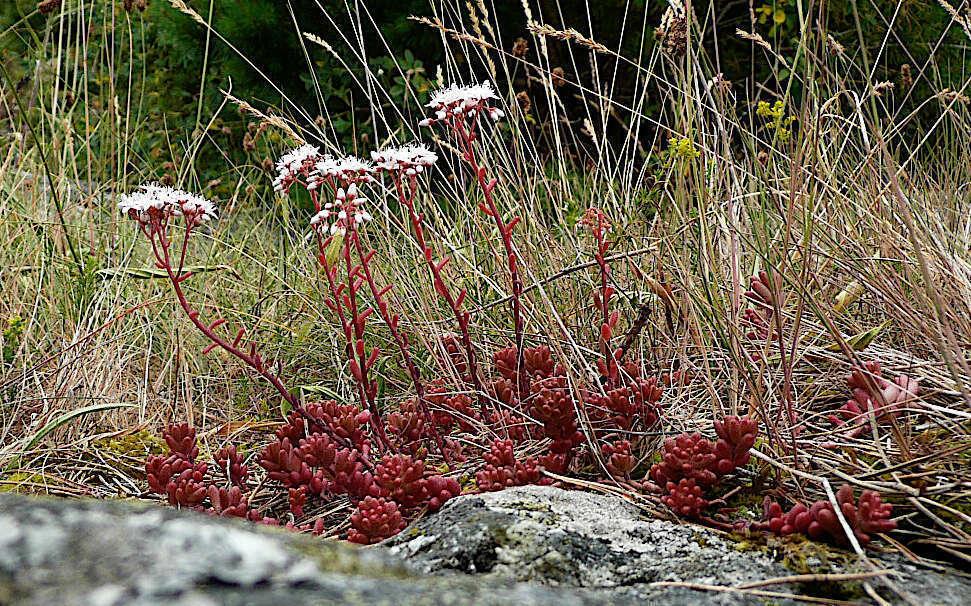 Orpin blanc - vue d'ensemble (Crédits : Flickr)