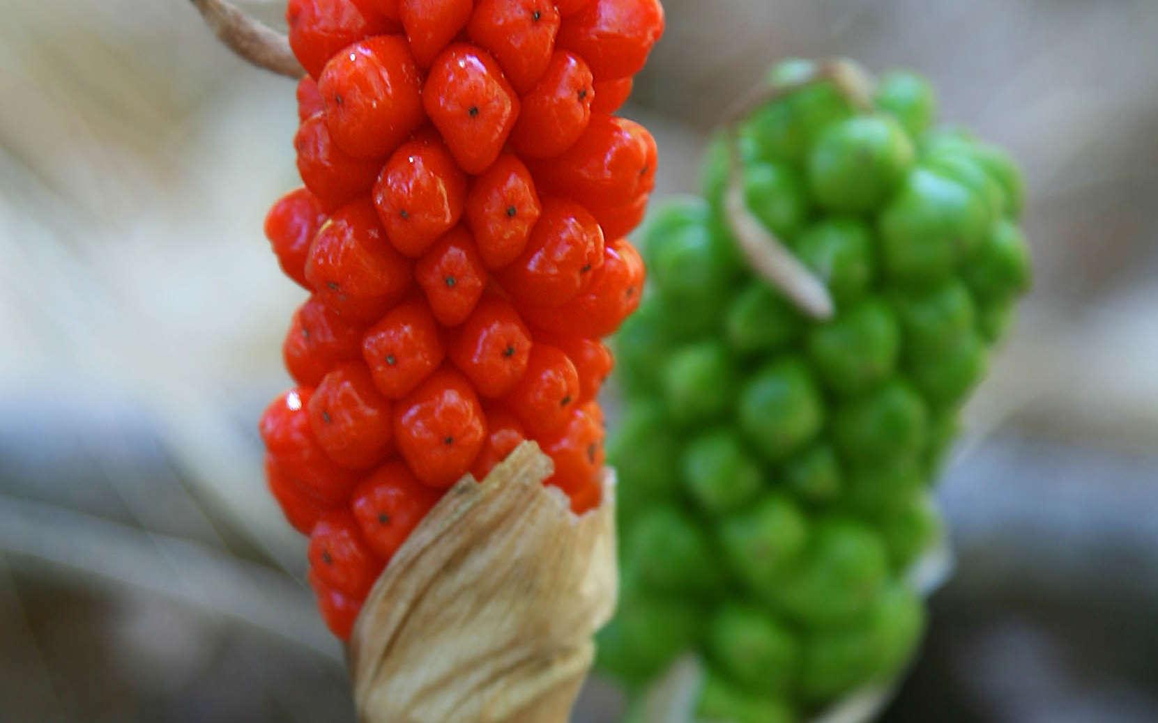 Arum d'Italie - fruits (Crédits : Jitze Couperus)