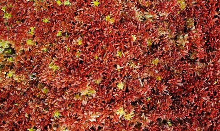 sphaigne sphagnum magellanicum crédit: CTSPM