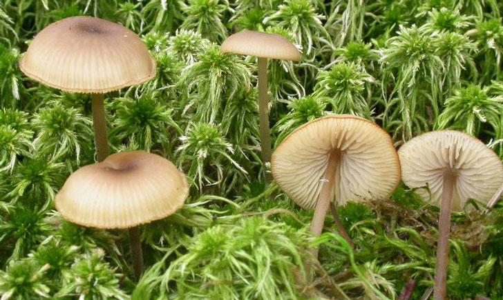 lyophylle des sphaignes tephrocybe palustris crédit: CTSPM