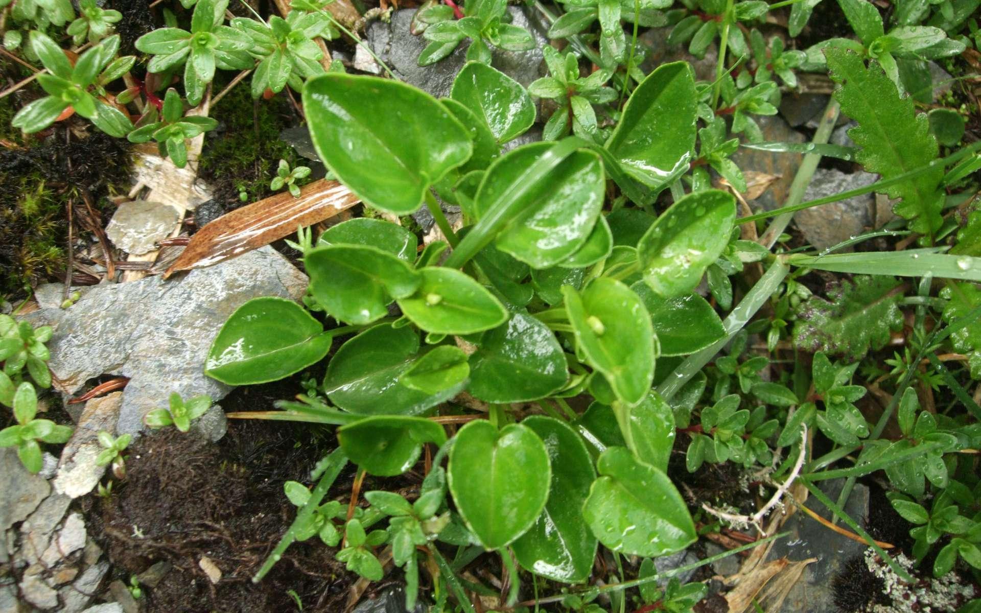 Parnassie des marais - feuilles (Crédits : Shihchuan - flickr)