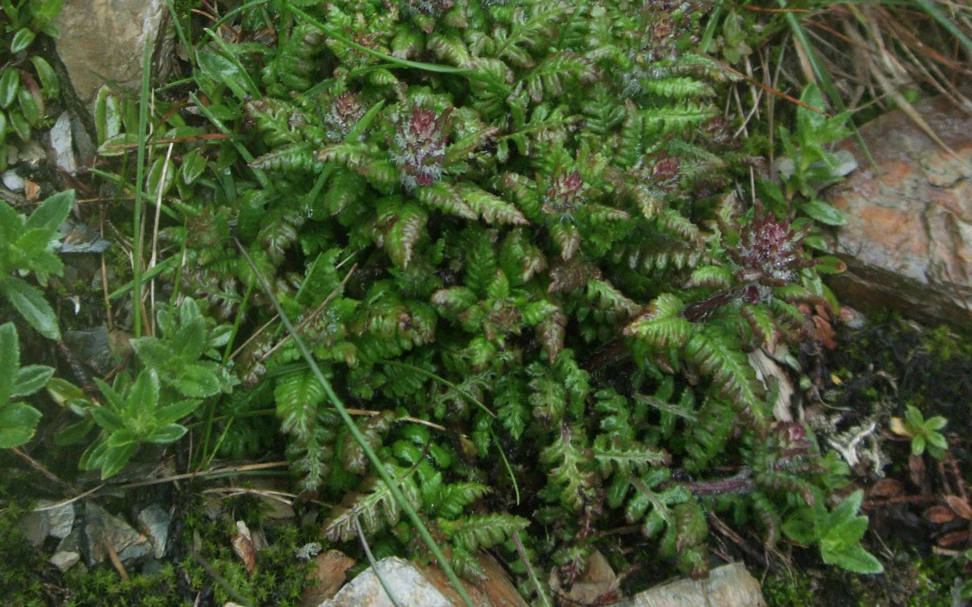 Pédiculaire verticillée - feuilles (Crédits : Shihchuan - Flickr)