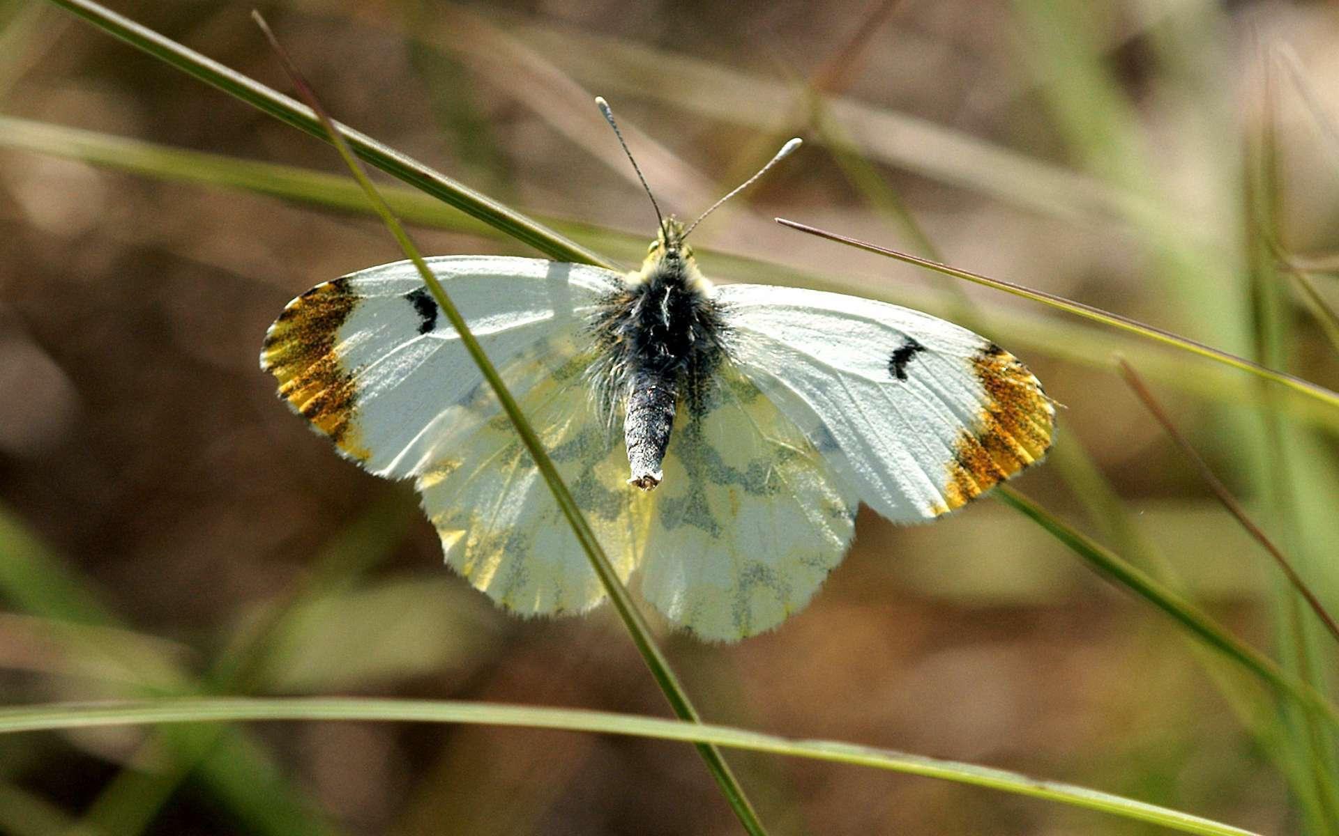 Aurore de Provence femelle (Crédis : Ferran Pestana)