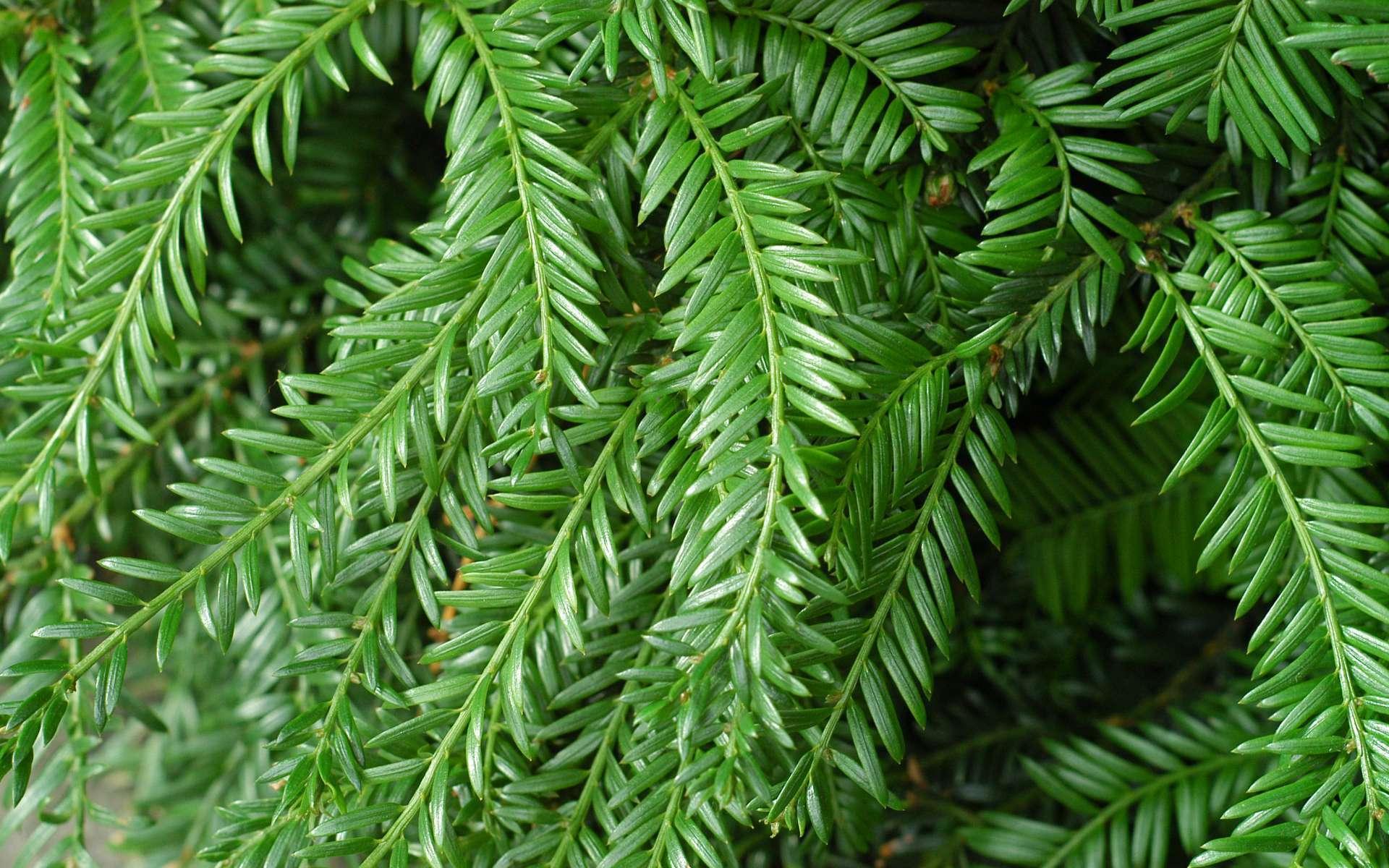 If commun - branches et feuilles (Crédits : Flickr)