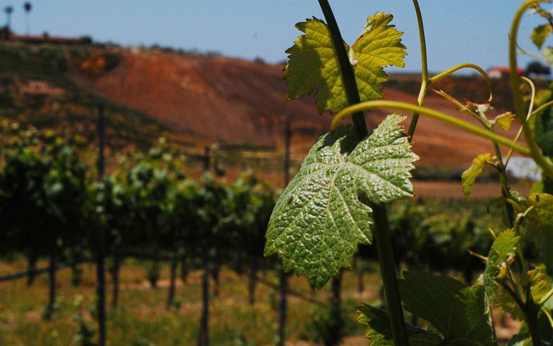Vigne cépage Grenache - feuille (Crédits : Flickr)