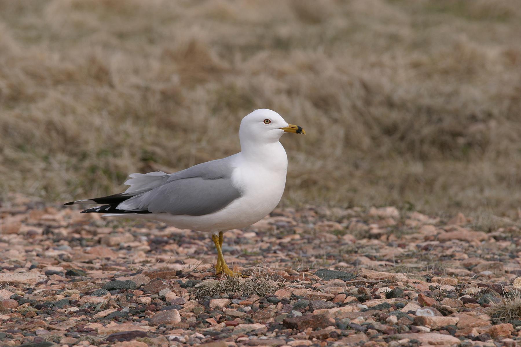 Goéland à bec cerclé. Crédits : Saint-Pierre-et-Miquelon