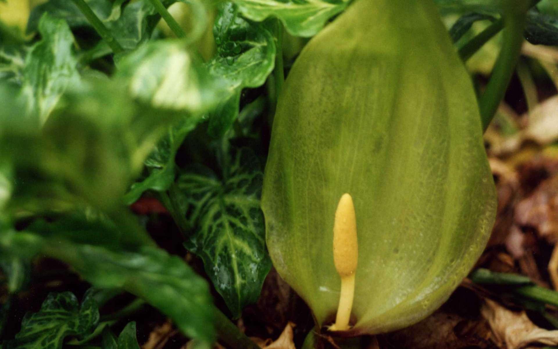 Arum d'Italie - inflorescence (Crédits : Clivid - flickr)