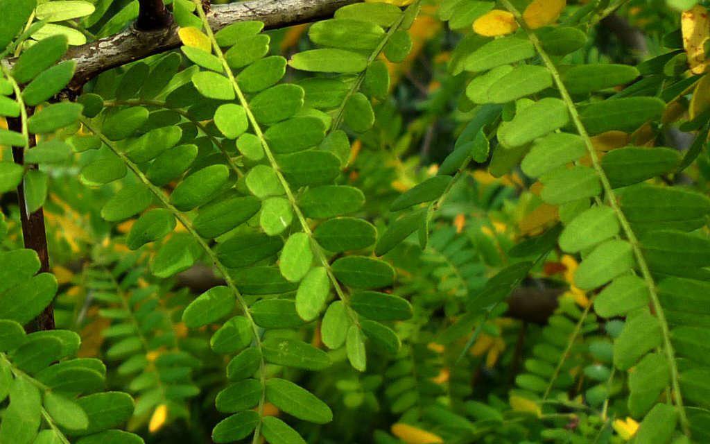 Févier d'Amérique - feuilles (Crédits : Jesus Cabrera)