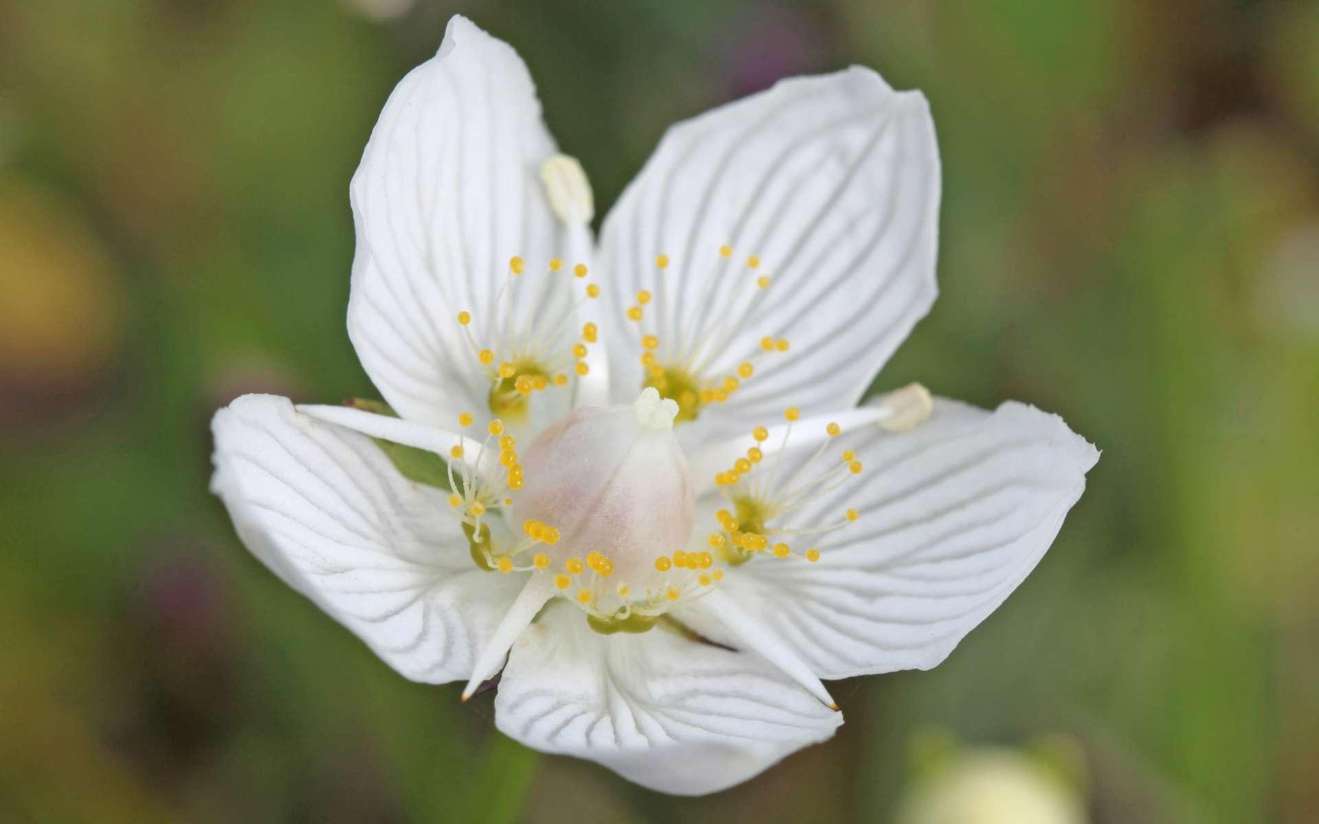 Parnassie des marais - fleurs (Crédits : Free photos - flickr)