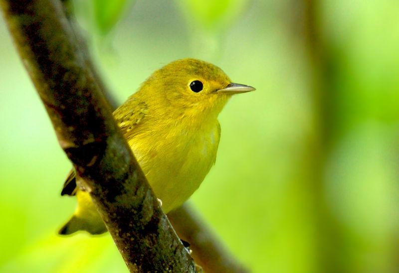 Paruline jaune femelle. Crédits : Saint-Pierre-et-Miquelon