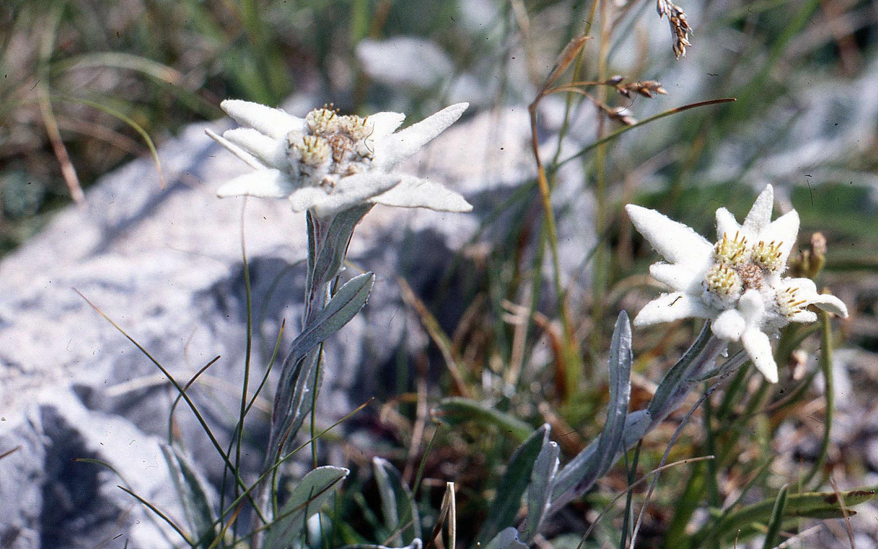 Edelweiss (Crédits : Udo Schmidt)
