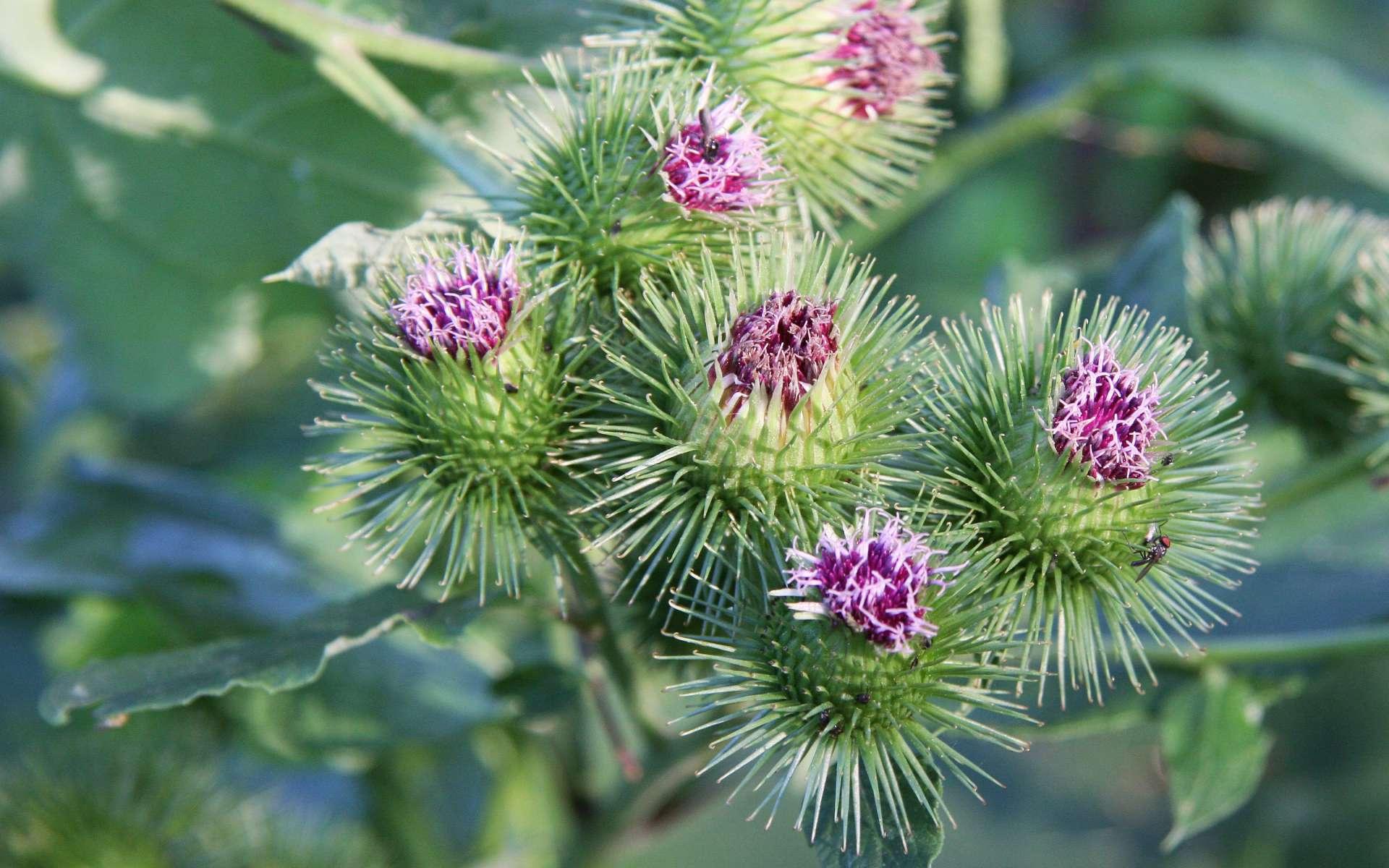 Bardane commune - fleurs (Crédits : Maja Dumat)