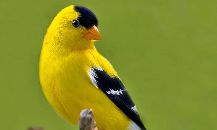 Chardonneret jaune Crédits : Saint-Pierre-et-Miquelon
