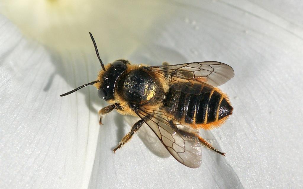 Megachile du rosier. Crédits : Saint-Pierre-et-Miquelon