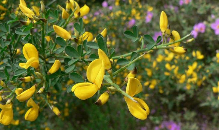 Calicotome épineux (crédit: Mathieu MENAND - Tela Botanica)