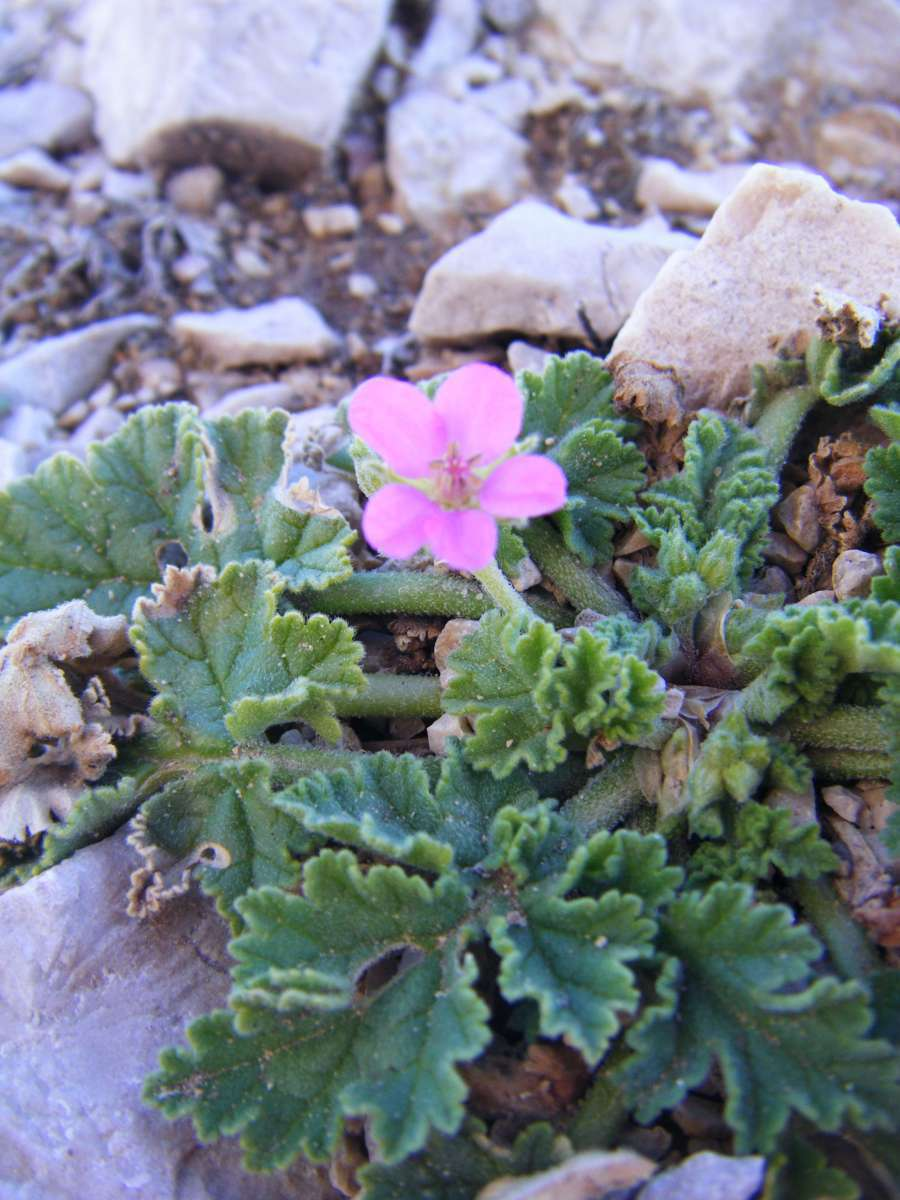 Erodium de Chios (Crédits : Julien Bonnaud - Natural Solutions)