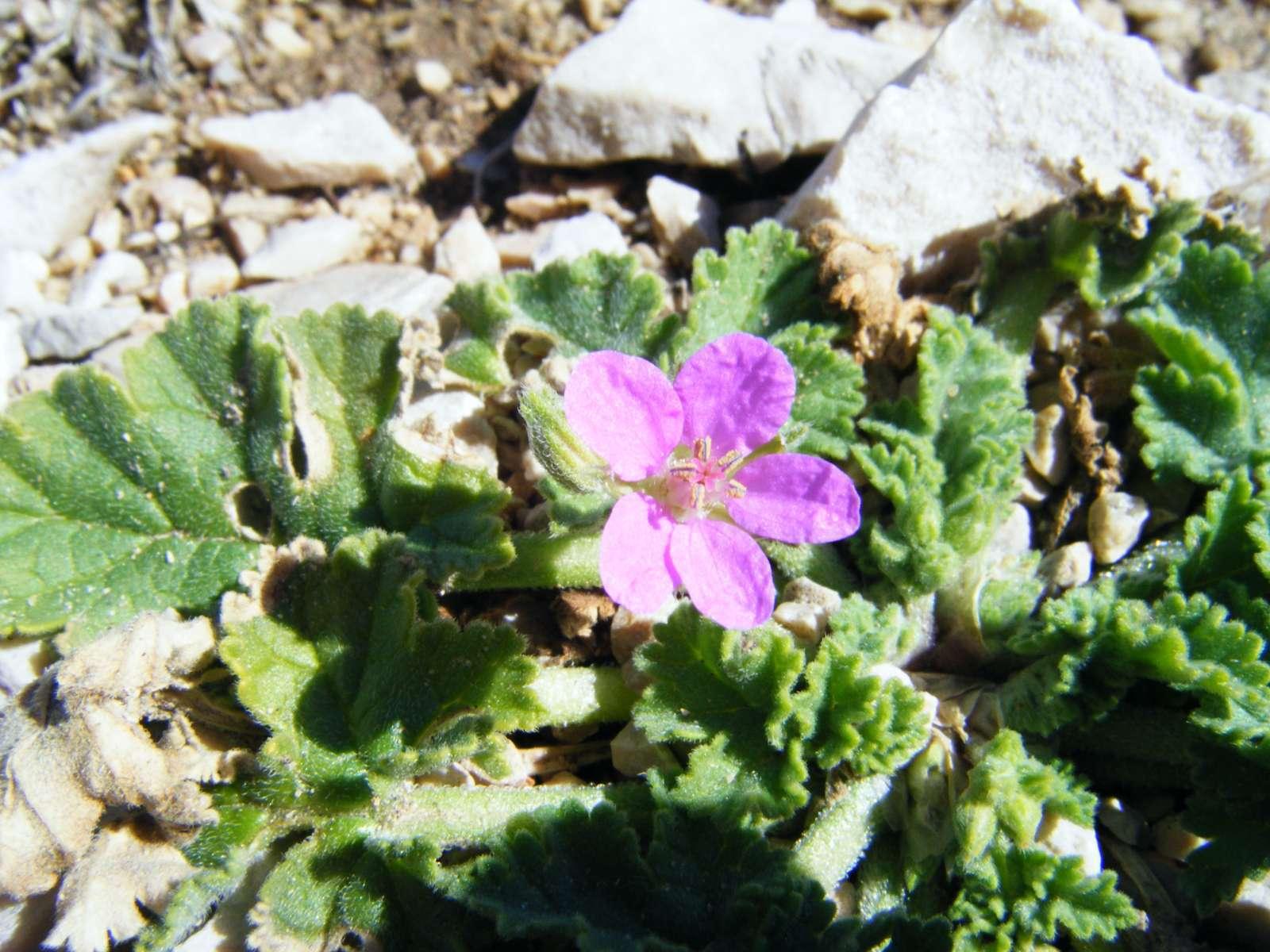 Erodium de Chios (Crédits : Julien Bonnaud - Natural Solutions)