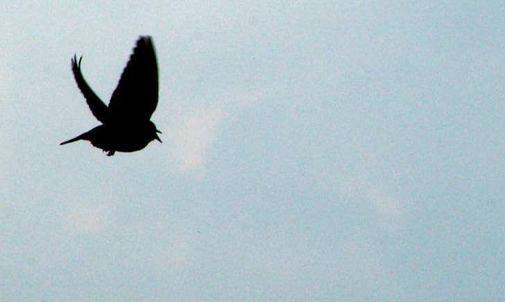 Étourneau sansonnet (crédit: peuplier - Flickr)