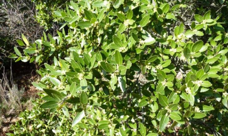 Filaria à larges feuilles (crédit: Mathieu.Menand - Tela Botanica)