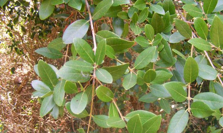 Filaria àlarges feuilles