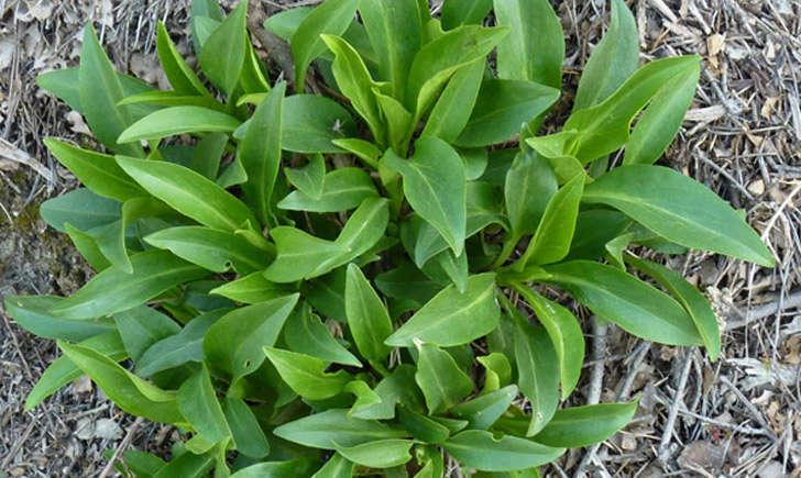 Lilas d`Espagne (Crédits : Bertrand.BUI - Tela Botanica)