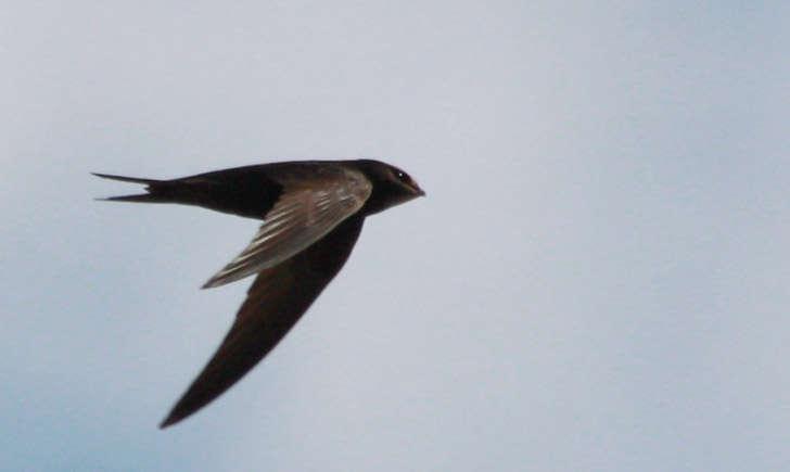 Martinet noir (crédit: aigledayres - Flickr)