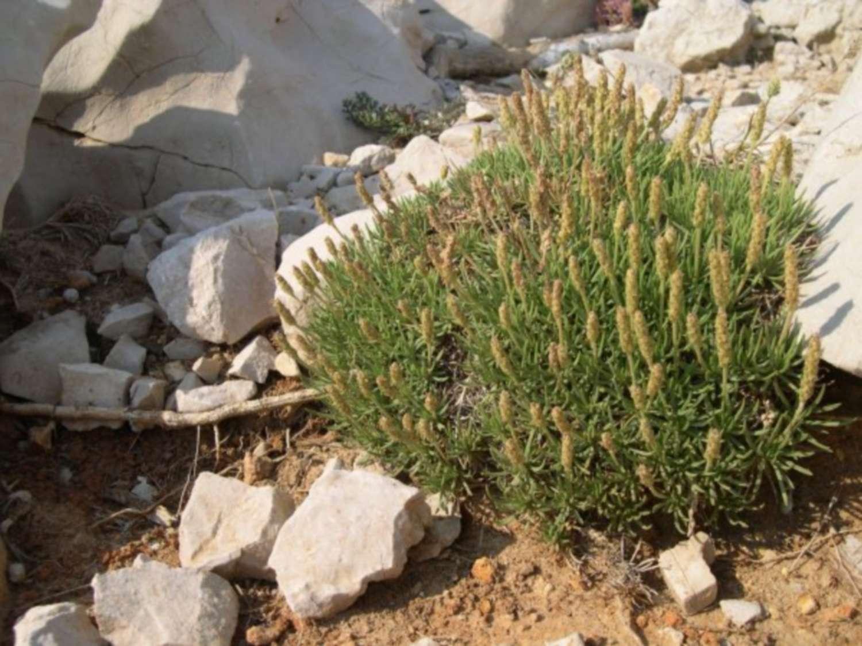 Plantain à feuilles en alène
