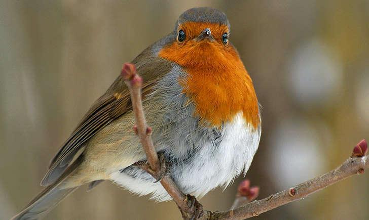 Rouge-gorge familier (crédit: sybarite48 - Flickr)