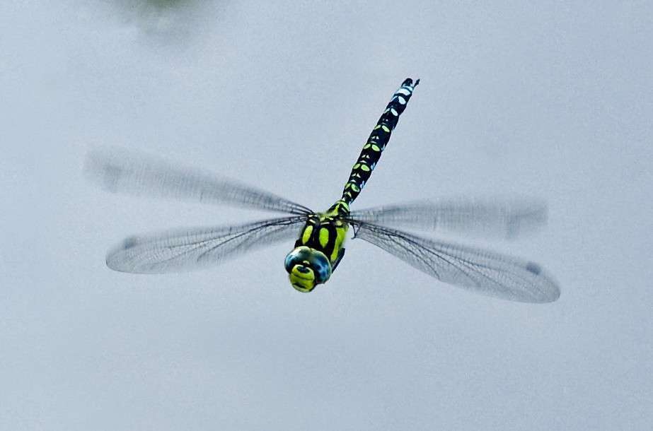 Aeschne bleue - Crédit : Quentin Dumont