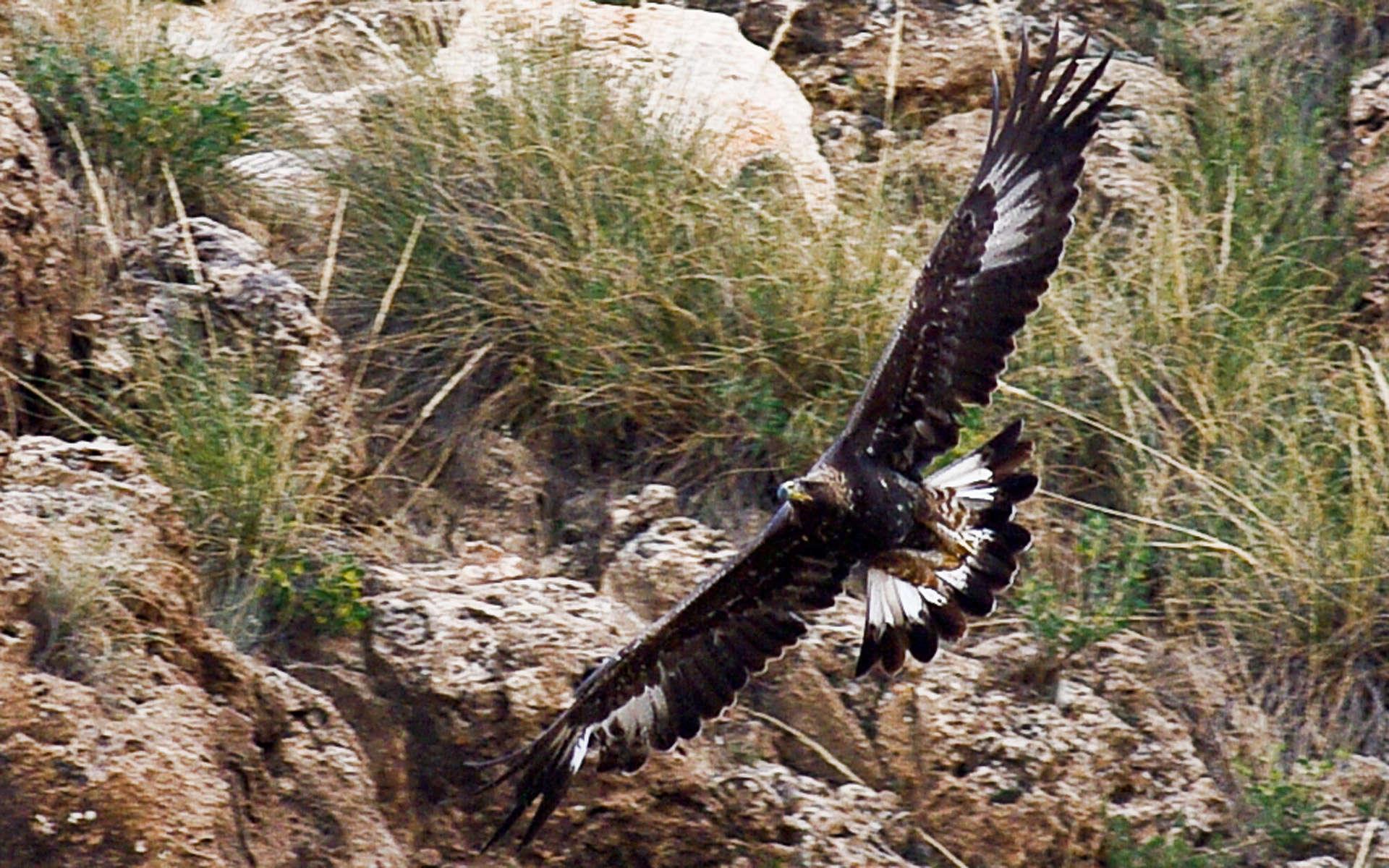 Aigle royal juvénile en vol  crédit Jerome Boisard