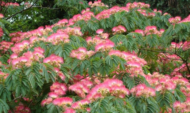 Albizia, fleurs et feuilles (Crédits : Wendy Cutler)