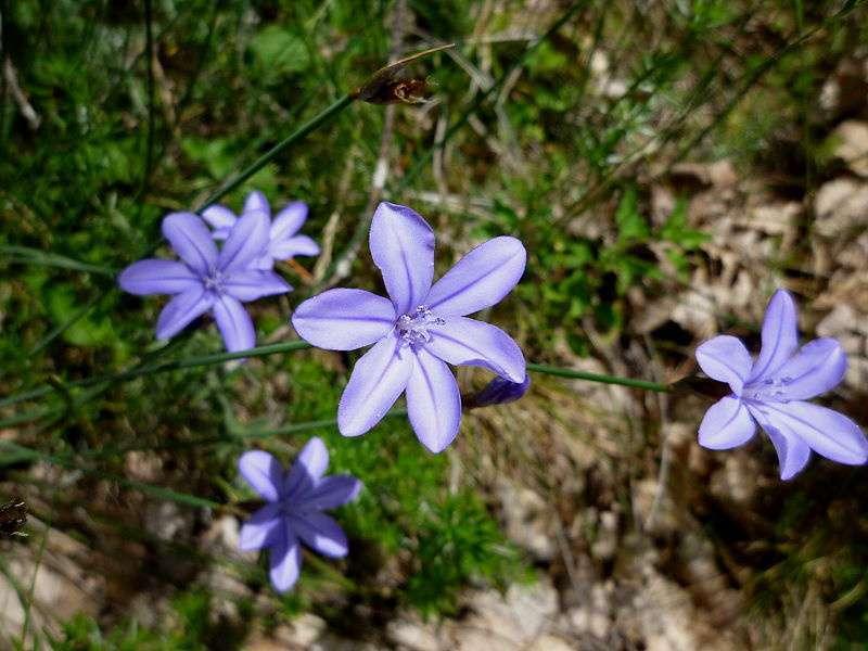 Aphyllantes de Montpellier