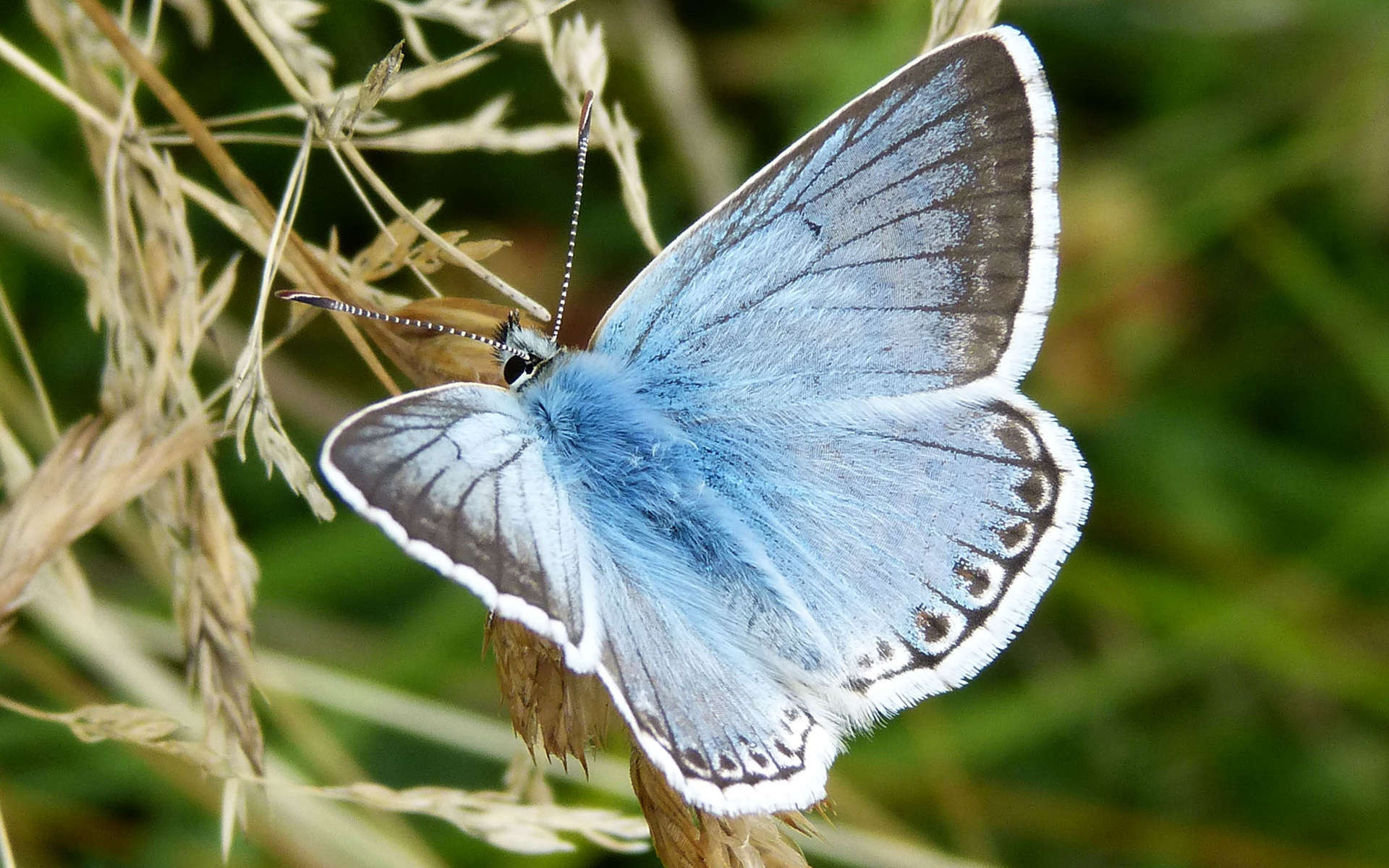 Argus bleu nacré - mâle (Crédits: gailhampshire - Flickr)