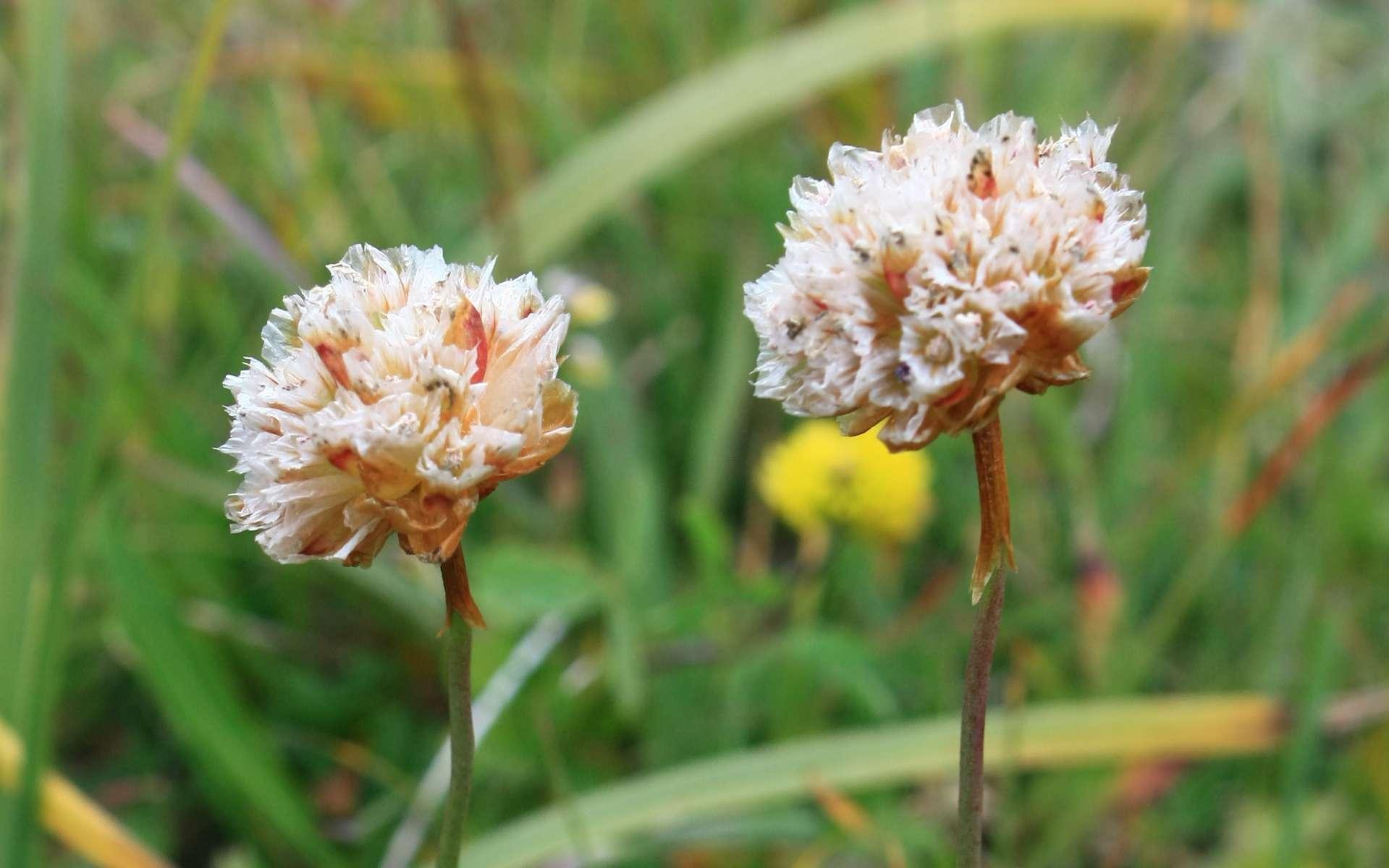 Armérie des Alpes - fleurs fannées (Crédits : Cyril Gautreau)