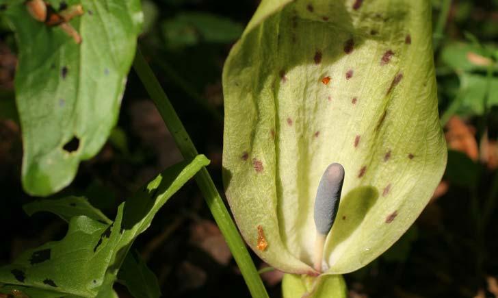 Arum-maculatum-credit-s.-filoche