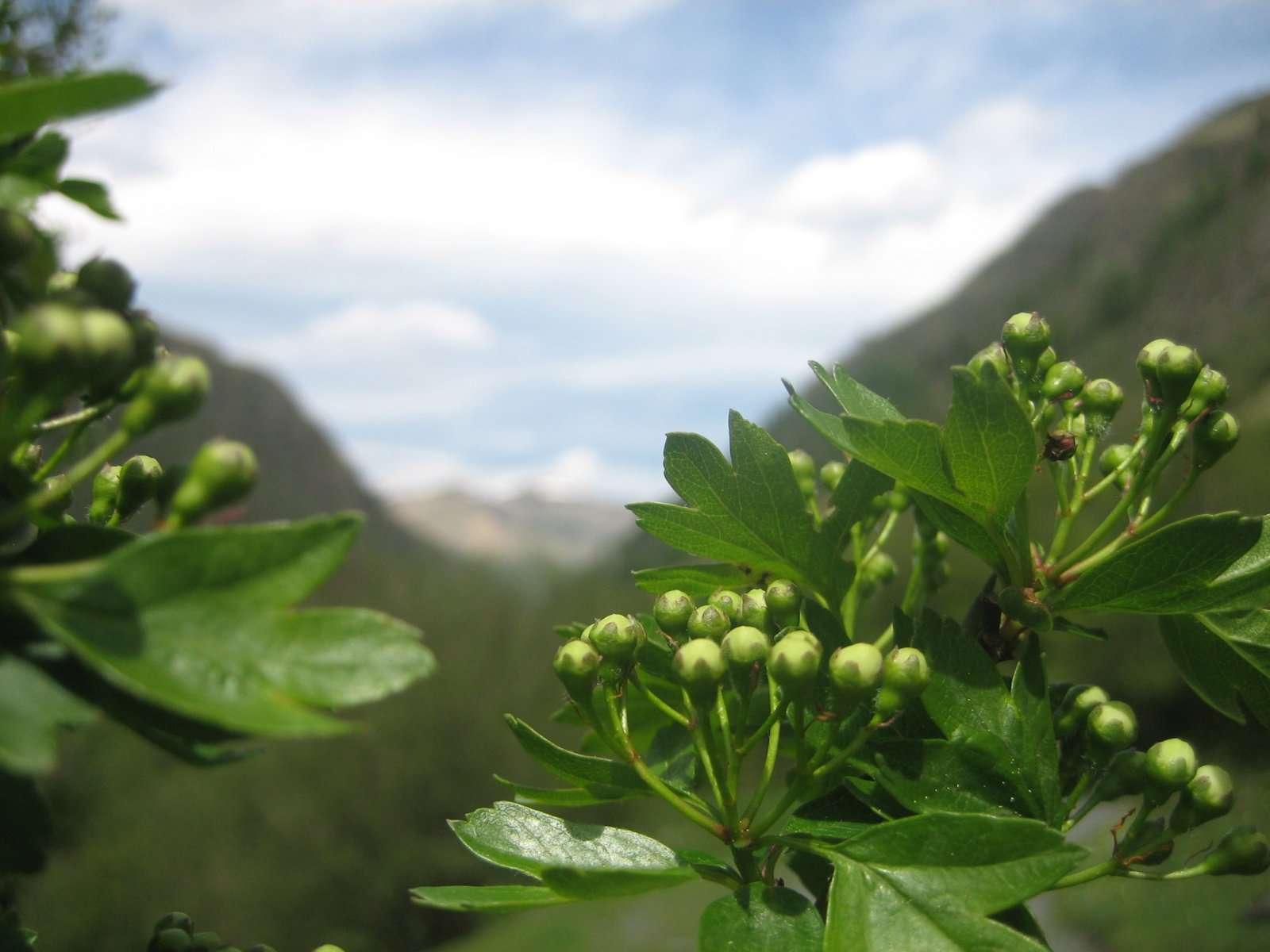 Aubépine, fleurs en bourgeons (crédits: evelyne Liauzun)