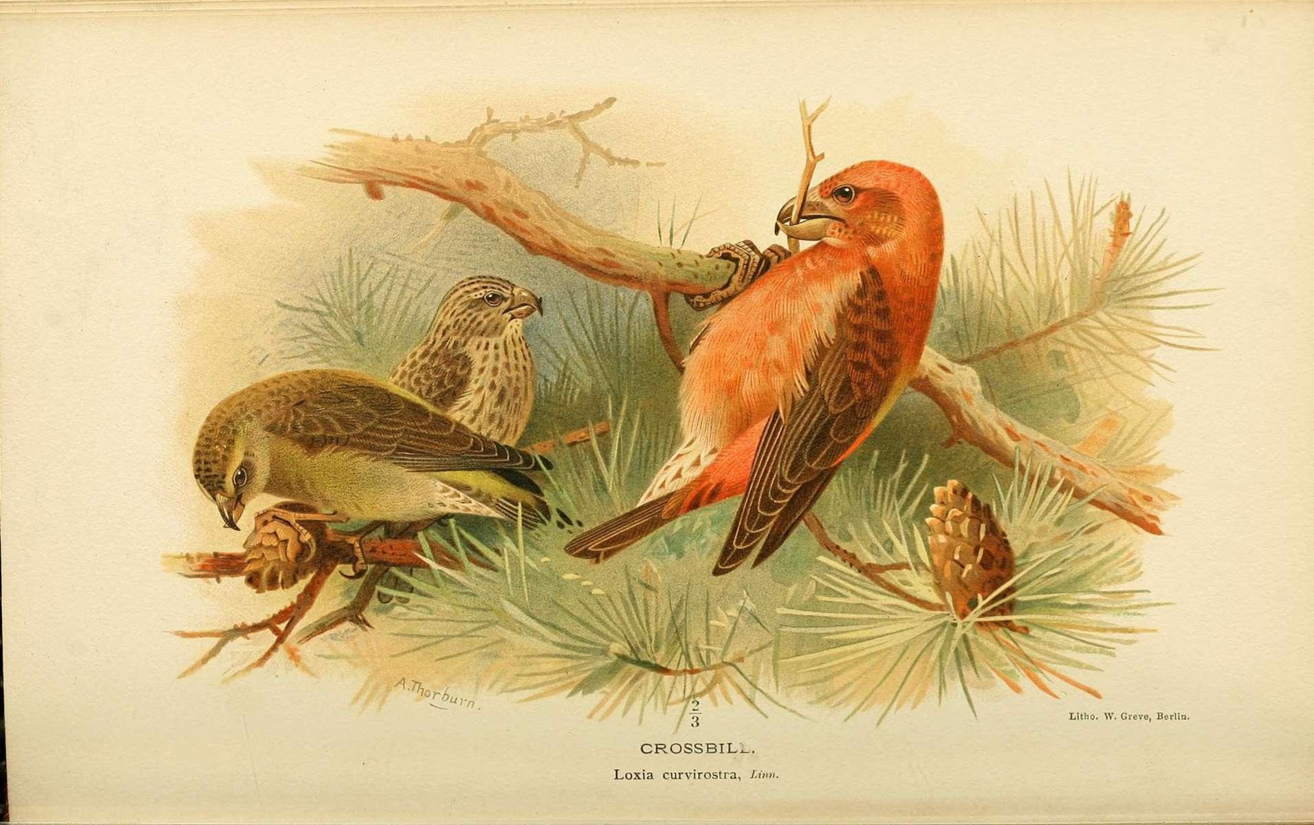 bec croisé des sapins - credit Biodiversity Heritage Library