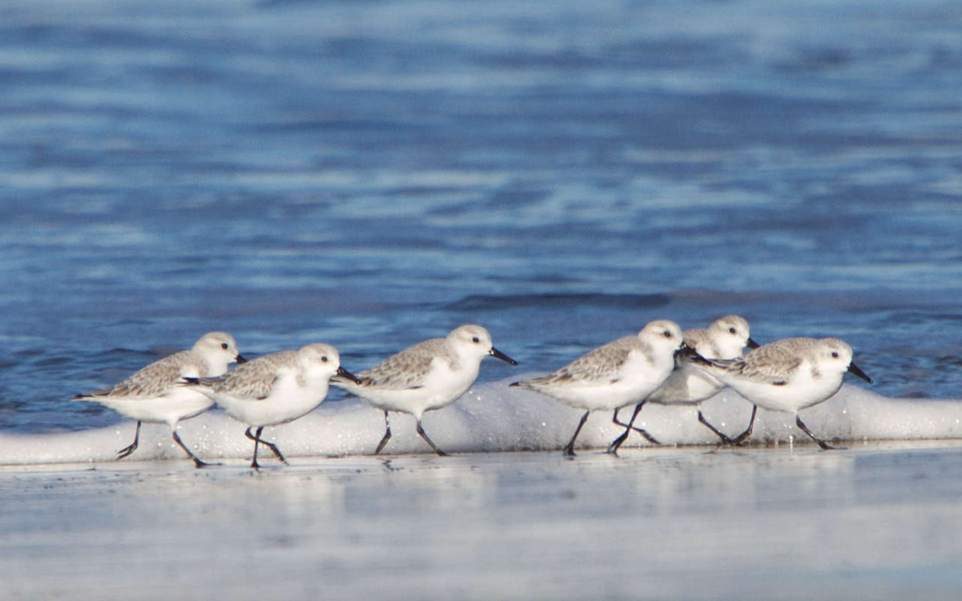 Bécasseau sanderling (Dawn Beattie)