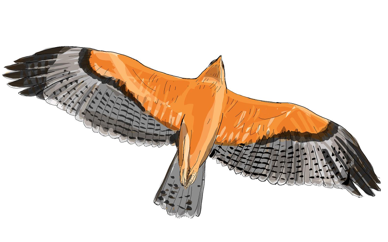 Aigle bonelli-juvénile-roux-en-vol- crédit Desforges