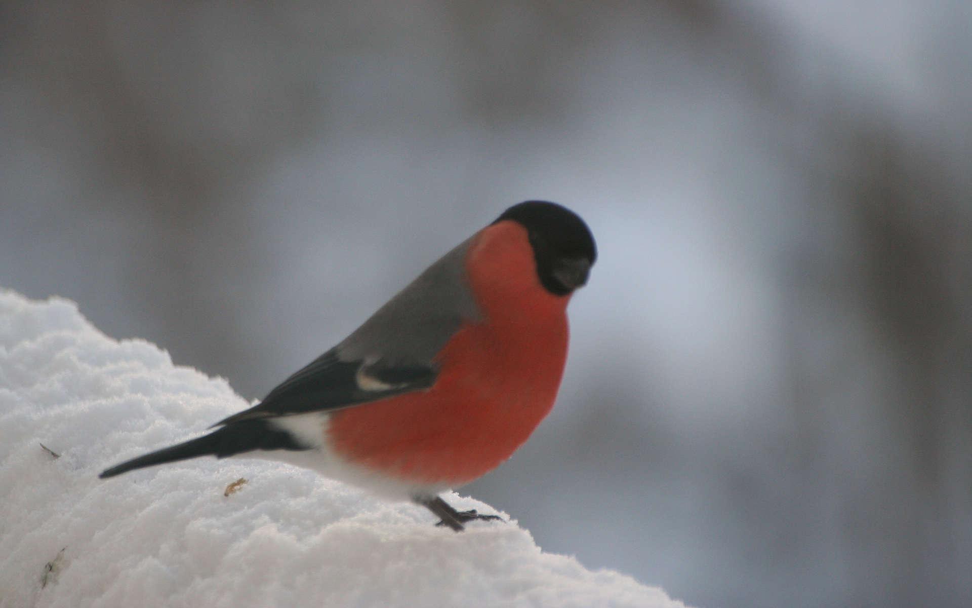 Bouvreuil pivoine mâle (Crédits: Color line - Flickr)