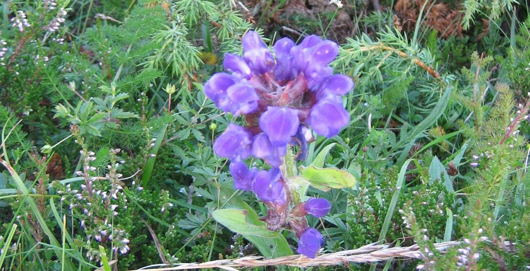 Brunelle à grandes fleurs(crédits: evelyne Liauzun)