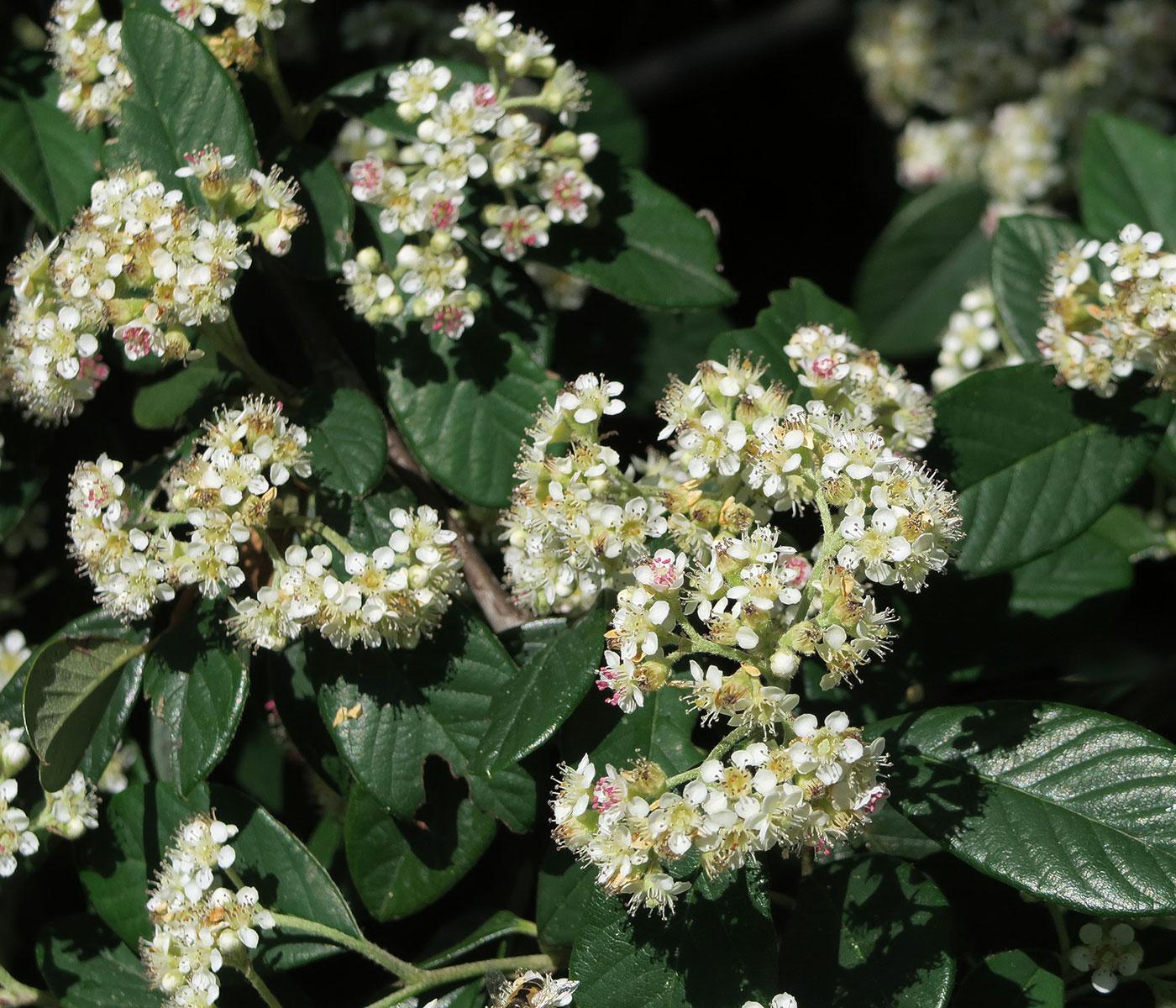 Buisson Ardent - Fleurs. Crédits : John Rusk - Flickr