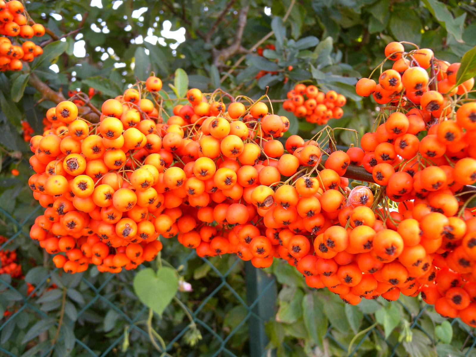 Buisson Ardent - Fruits en cours de maturation. Crédits : Tauralbus - Flickr