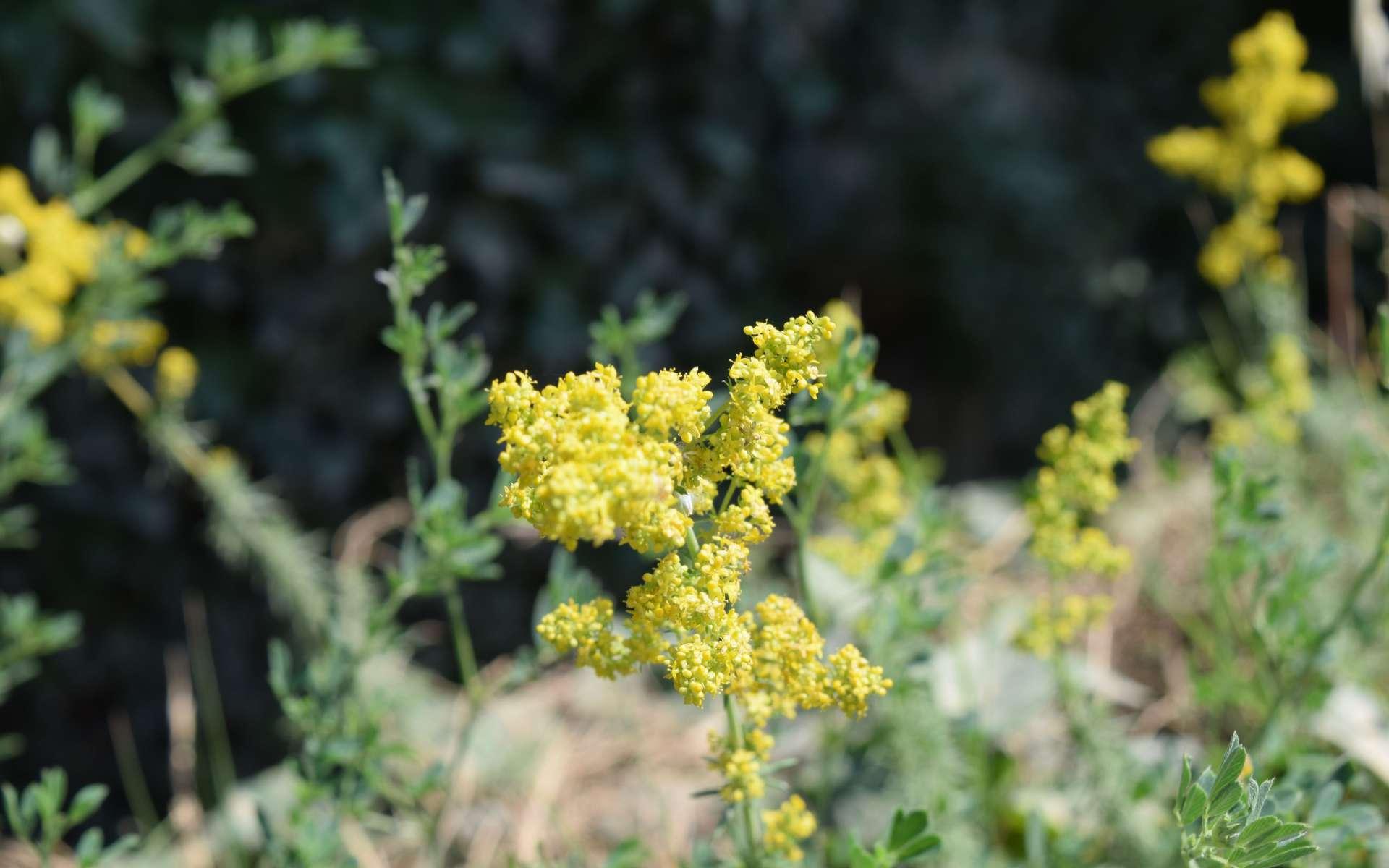 Caille-lait jaune - fleurs (Crédits : Léa Charbonnier)