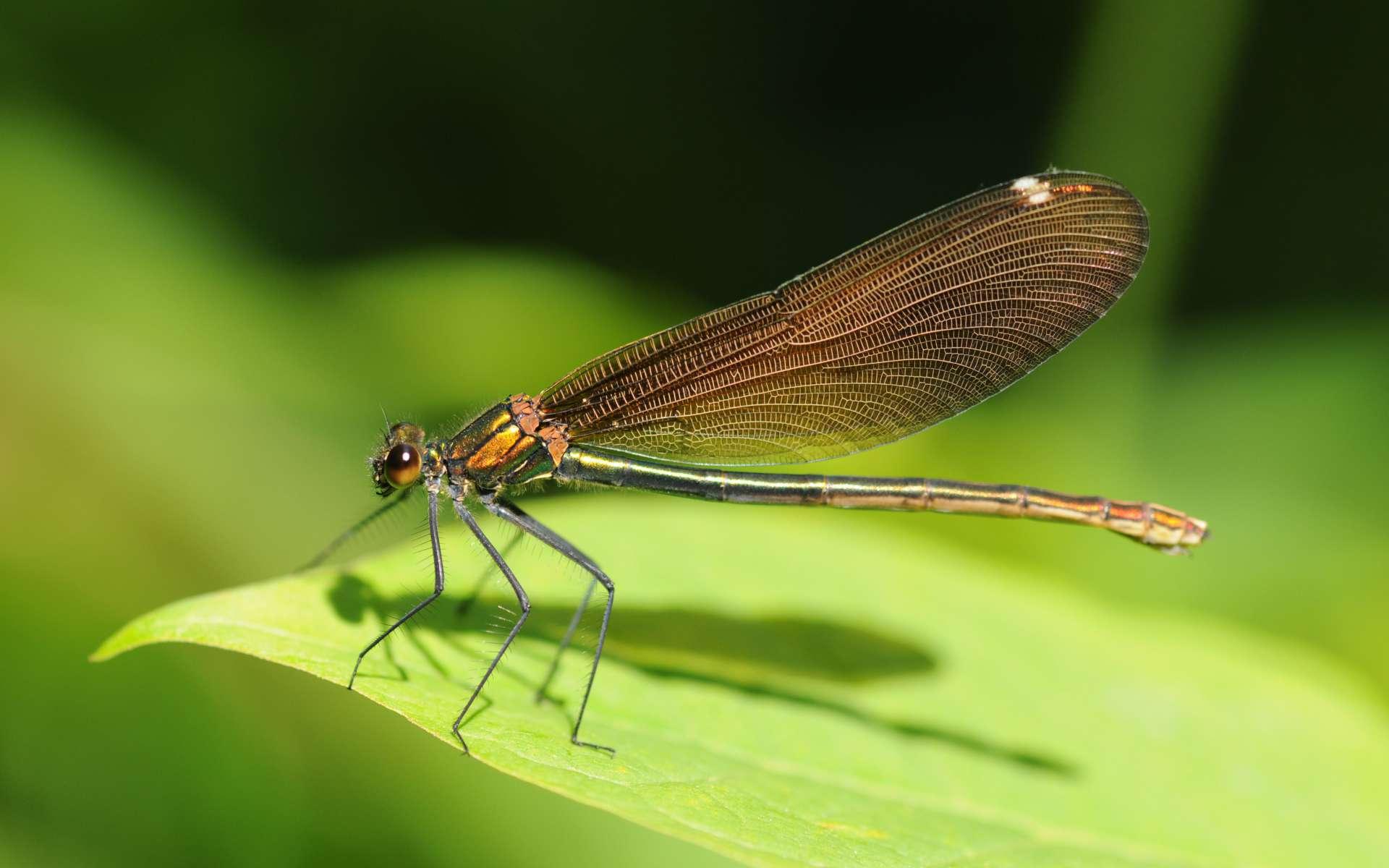 Caloptérix-vierge-crédit-thomas bresson-flickr-