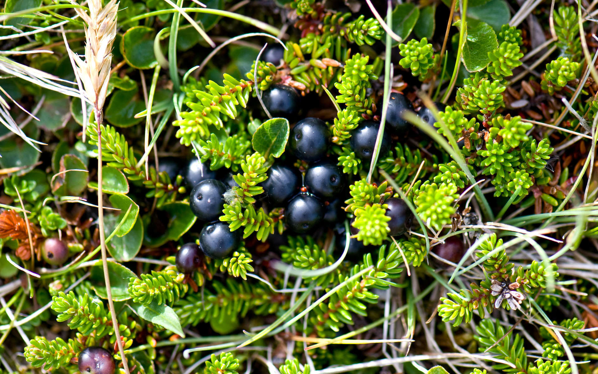 Camarine noire (Crédits: Thomas Quine - Flickr)